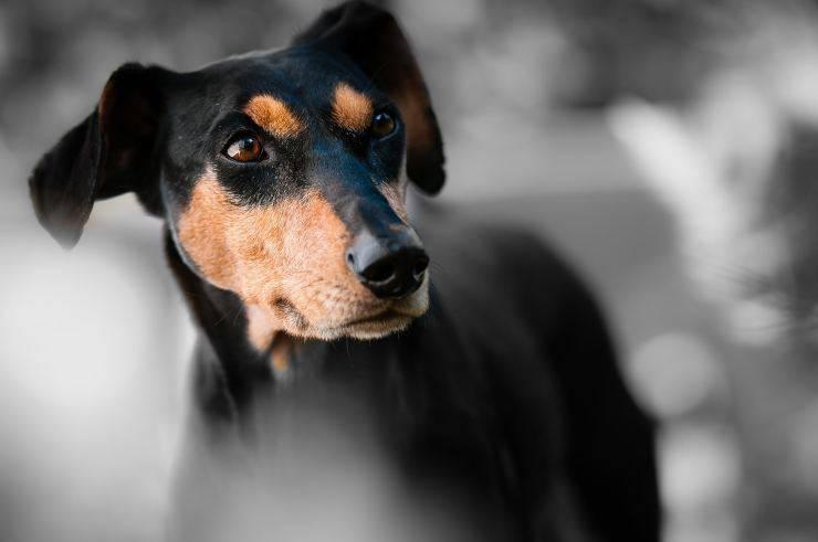 Cagnolino in attesa (Foto Pixabay)