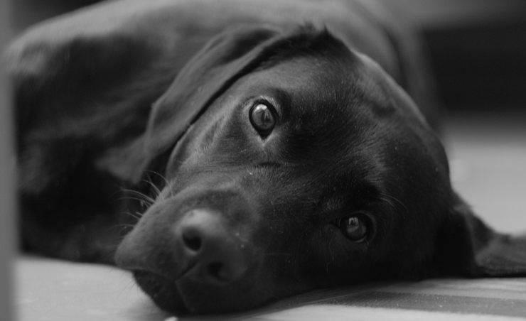 Cane sguardo languido (foto Pixabay)