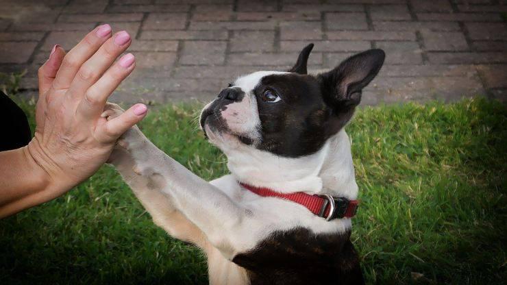 Razze compatibili col Boston Terrier