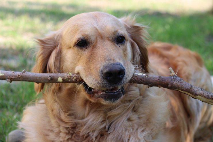 Labrador gioca con un pezzo di legno
