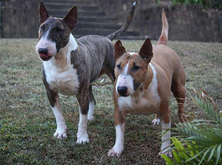 cane bull terrier razze cani compatibili