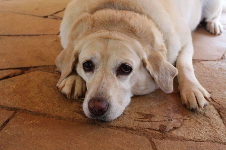 cane aggressivo obeso obesità