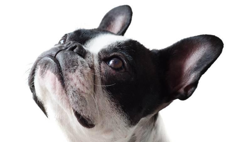 Cucciolo di bulldog (Foto Pixabay)