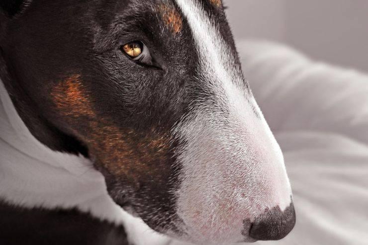adottare cane bull terrier