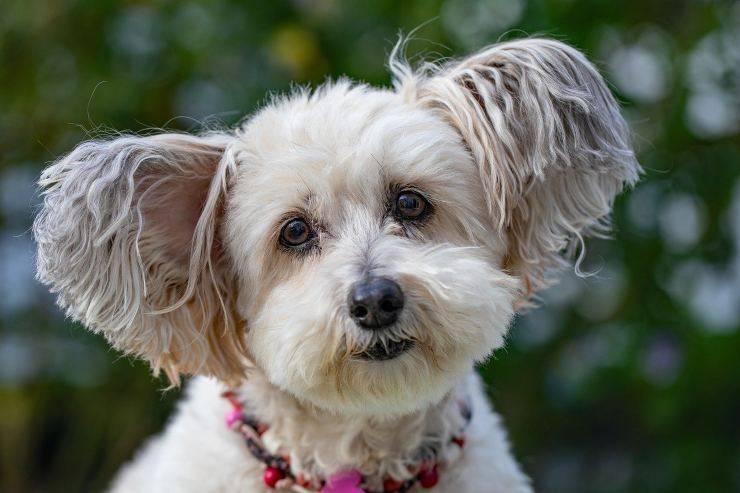 Accessori di lusso per cani: collarino
