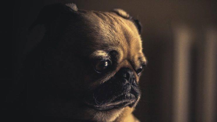 Cagnolino triste (Foto Pixabay)