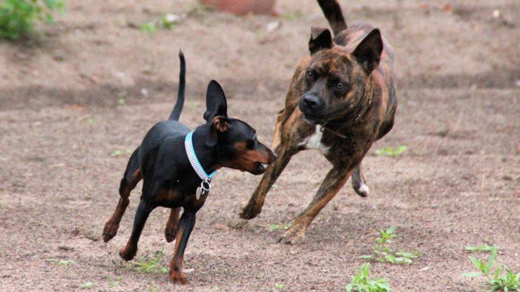 pinscher nano Zwergpinscher razze cani compatibili