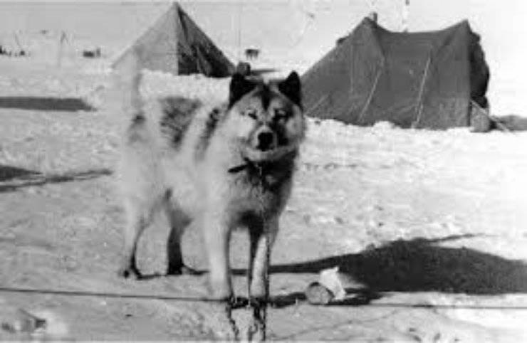 Cani di origine argentina: Argentine Polar Dog