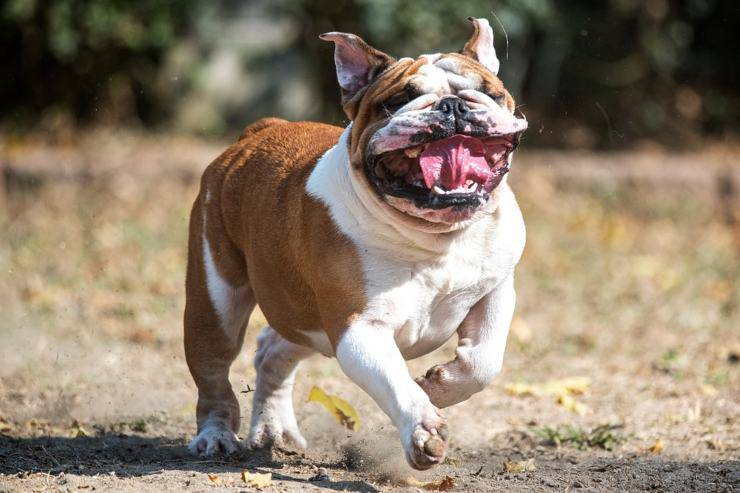 bulldog inglese english adottare padrone ideale
