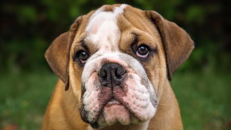 english bulldog inglese cane curiosità