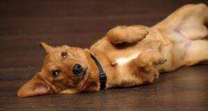 ernia ombelicale cane