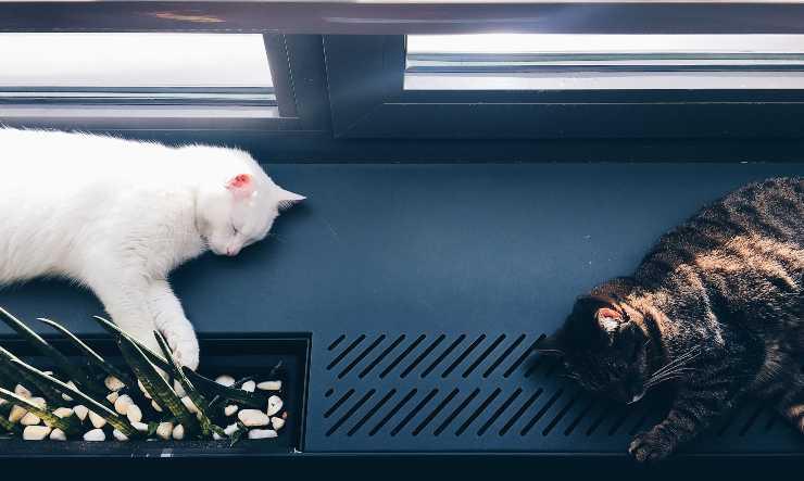 gatti dormono su davanzale finestra