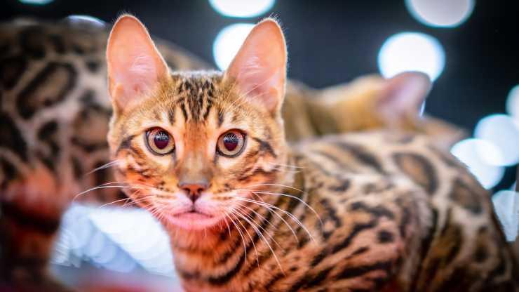 gatti esotici