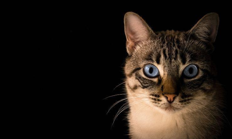 gatto benefici curcuma