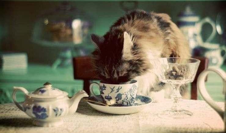 gatto beve dalla tazza