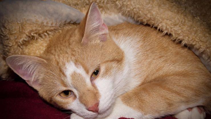 Farmaci inalatori per gatti