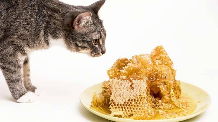 gatto e miele