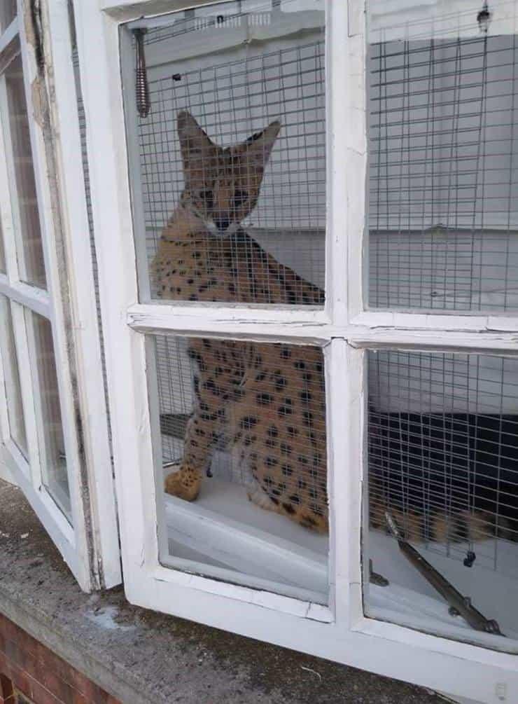 Zena il gatto selvatico detenuto illegalmente