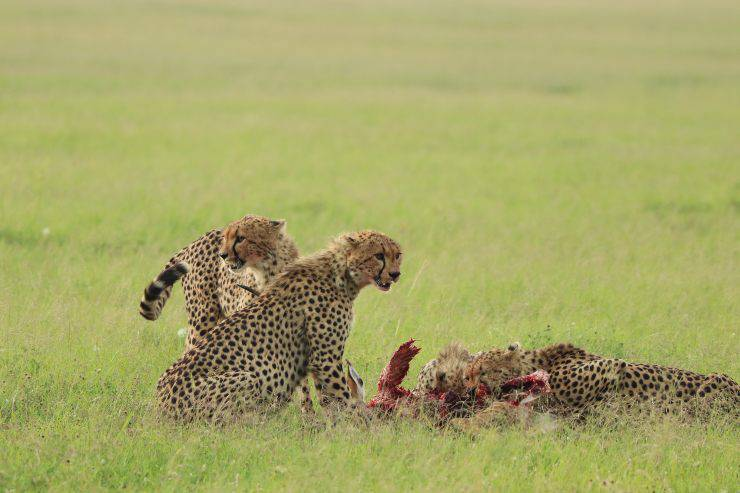 ghepardo alimentazione