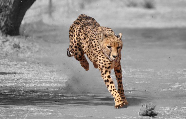 ghepardo caratteristiche