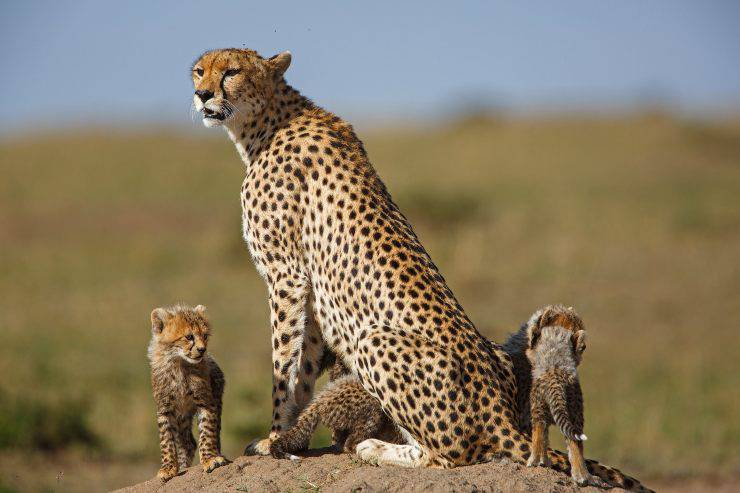 gherpardo cuccioli