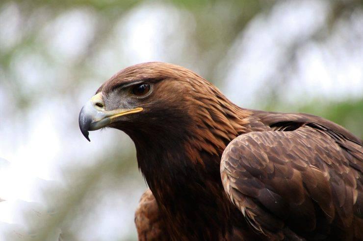 Animali in francese: Aquila