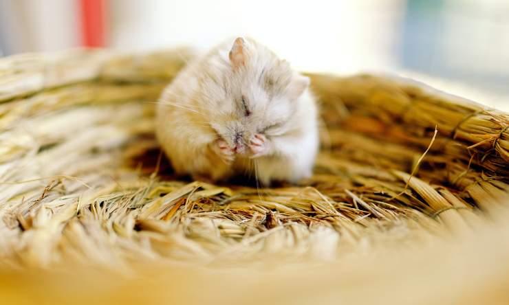 il criceto non mangia cause e sintomi