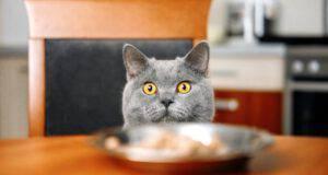 il gatto può mangiare il fegato
