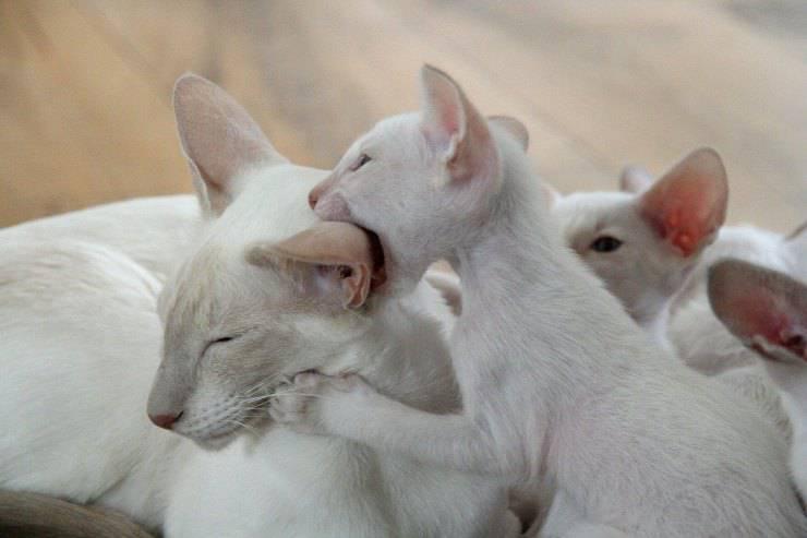 Gatti che si mordono tra loro