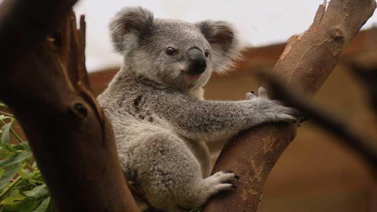 Koala (Photo de Pixabay)