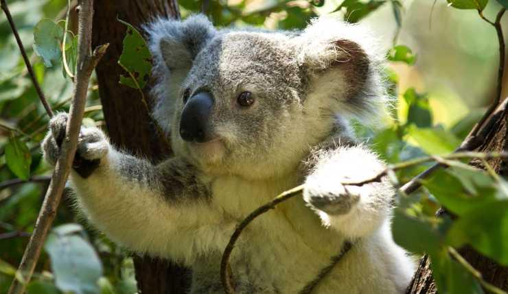 koala tra i rami (Photo de Pixabay)