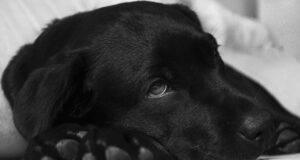 Chilotorace nel cane