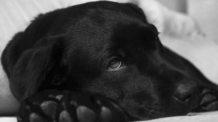 Che cos'è il chilotorace nel cane