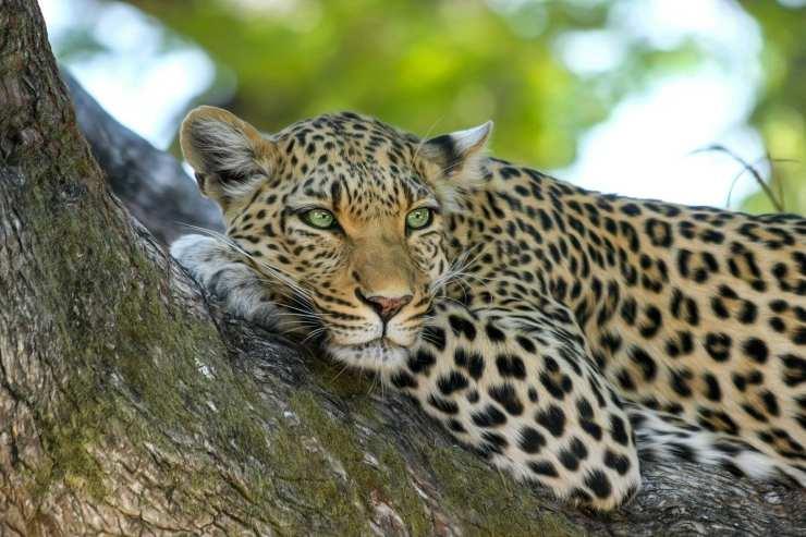 Animali in francese: Leopardo