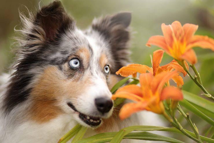 lilium velenosi per il cane