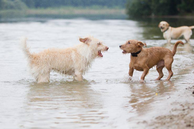 lite tra cani
