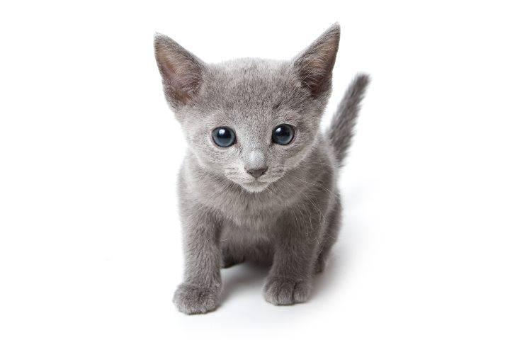 micio grigio