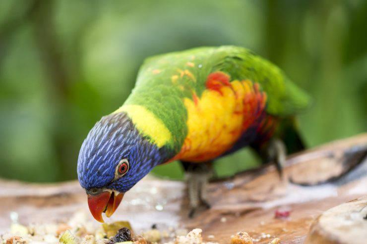 Il pappagallo può mangiare l'avena