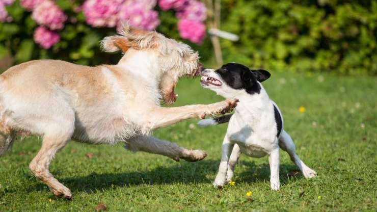 perché il cane ringhia