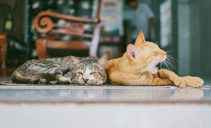 I gatti più a rischio malattie renali