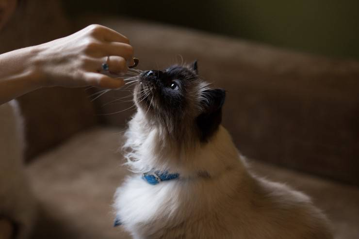 Il gatto e gli affettati