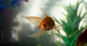 I pesci più longevi nell'acquario