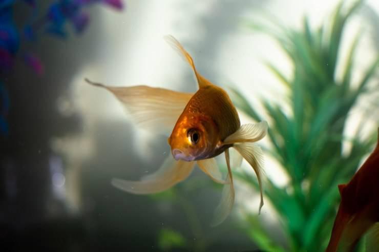I foruncoli nel pesce rosso