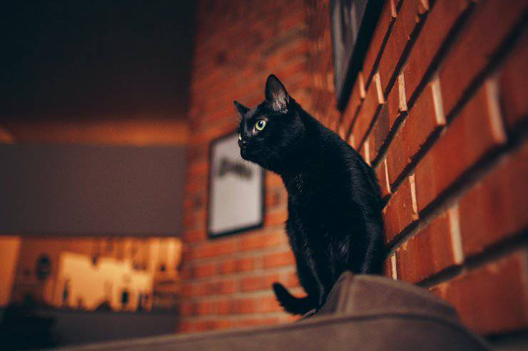 I gatti neri più diffusi