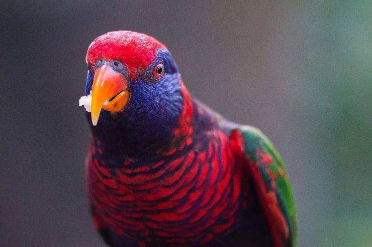 Il pappagallo e il cibo sano
