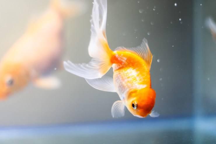 Foruncoli nel pesce rosso