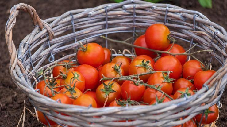 Pomodoro per conigli