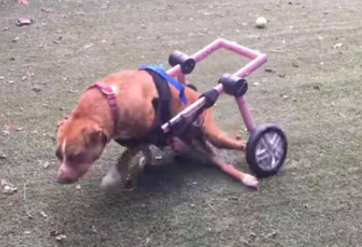 cagnolina paralizzata felice sedia rotelle