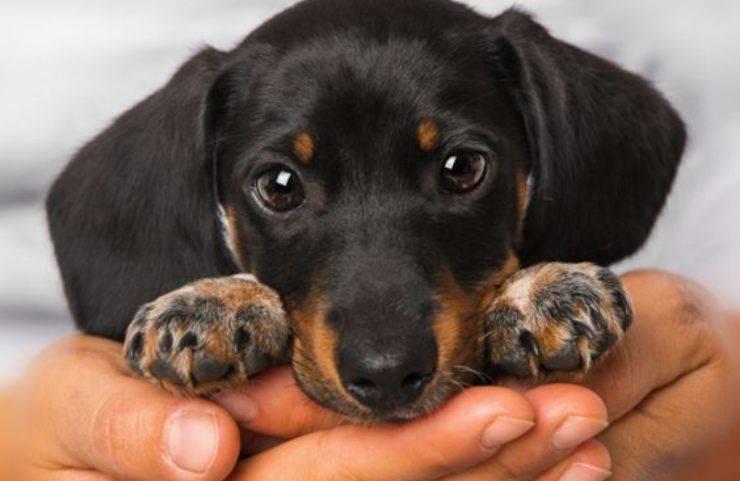 prévenir l'orgelet chez les chiens