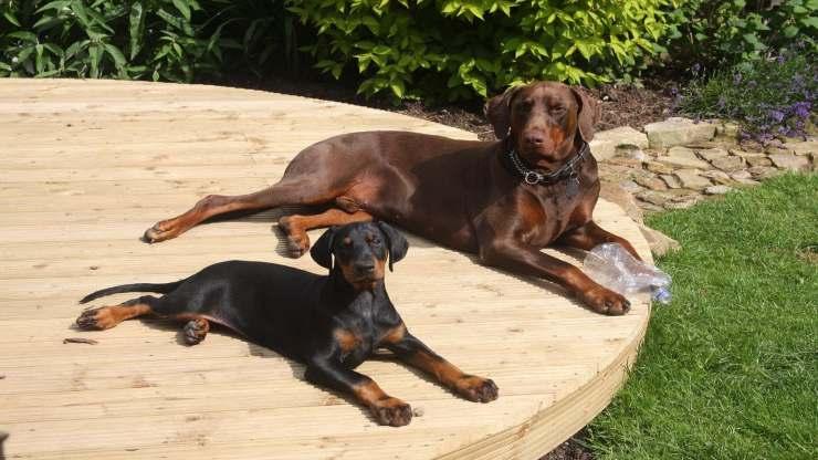 Razze di cani compatibili col Dobermann